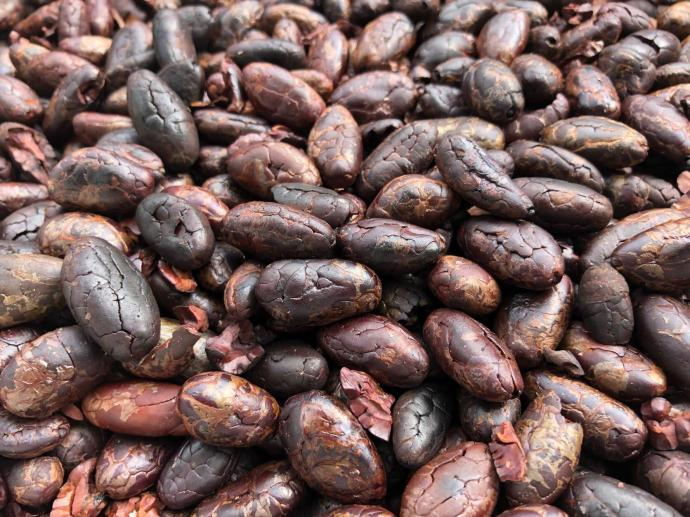 Cacao beans after a harvest